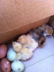 Baby chicks hatched on Mother's Day. Me loves 'em!