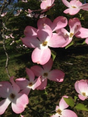 Beautiful pink dogwood at our friend's house